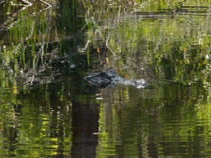 A mama alligator at the Okefenokee Swamp