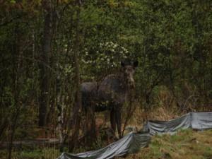 It's a Maine mama moose! (I think.)